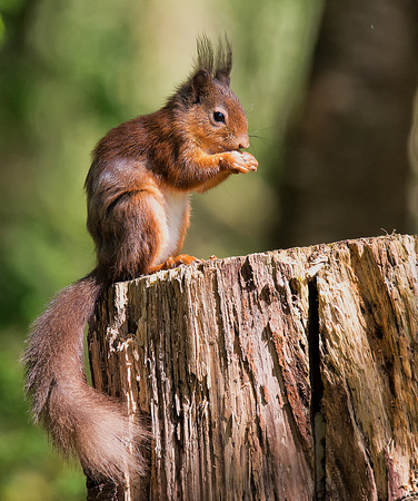 Lockerbie Red Squirrel
